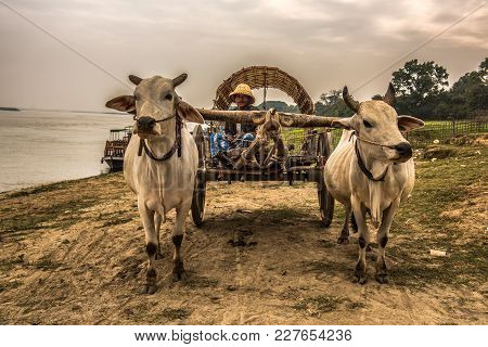 Mingun, Myanmar - January 21, 2016 : Old Burmese Farmer Riding An Ox Cart Along The Irrawaddy River.