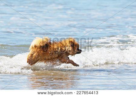 Portrait Of A Pomeranian Spitz In The Sea