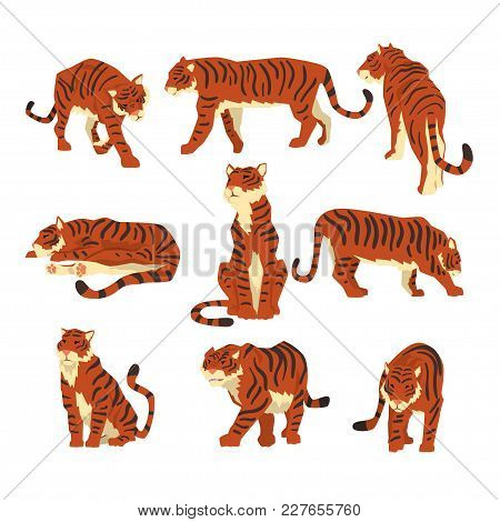 Powerful Tiger In Different Actions Set Of Cartoon Vector Illustrations Isolated On A White Backgrou