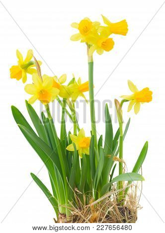 Easter Growing Daffodils In Isolated On White Background
