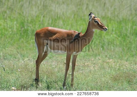 A Female Impala And Ox Pecker  Removing Ticks From.her Skin
