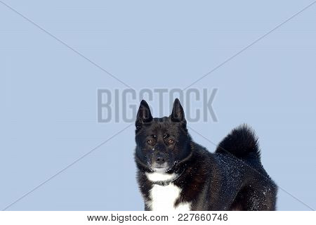 Laika Hunting Dog Isolated On Blue Background. Husky With A Twisted Tail. The Russian-european Laika