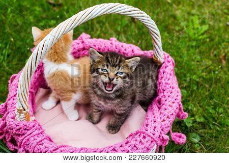 Screaming Tabby Kitten With Blue Eyes. Cute Baby Striped Kittens In Wicker Basket On Green Grass Out