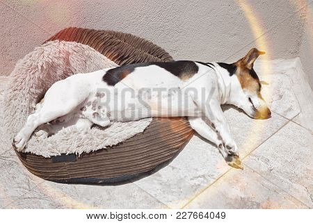 Jack Russell Dog Sleeping In The Sun