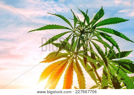 Marijuana, Cannabis, Flowering Plant As Medicinal Medicine, Grass In Sunset Sunlight
