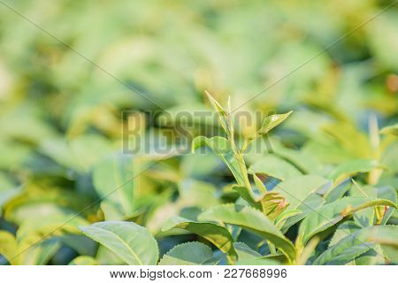 Close Up Of Green Tea Leaves In Field With Blur Background.tea Field,tea Farm,tea Plantation For  Ag