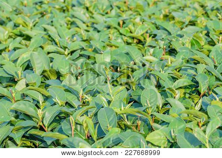 Green Tea Leaves In Field With Blur Background.tea Field,tea Farm,tea Plantation For  Agricultural I
