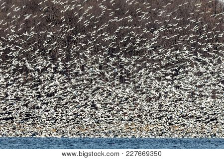 Thousands Of Snow Geese (chen Caerulescens) Fly Together During Migration Over Merril Creek Reservoi