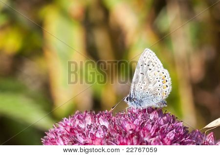 a common blue butterfly polyommatus icarus feeding on the red flowers of sedum telephium poster