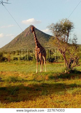 Reticulated Girraffee Posing For The Photo And Behind A Con Shape Hill