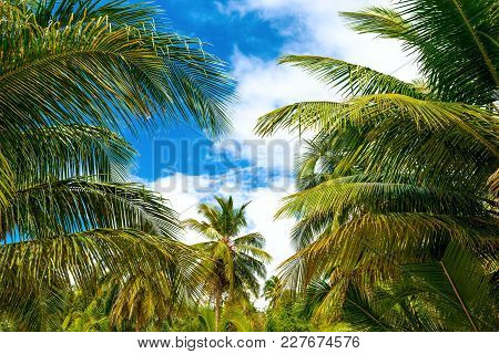 Palms On The Saona Island . The Nature Of The Tropical Islands Of The Caribbean Sea. Dominican Repub