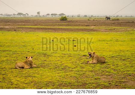 Two Lions Lying In The Grass Gaggling Mouth Wide Open In The Savannah Of Amboseli Park In Kenya