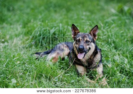 German Shepherd Laying On The Grass And Breathing With Its Tongue Out.