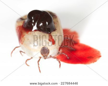 Mites In Blood On A White Background. Macro .
