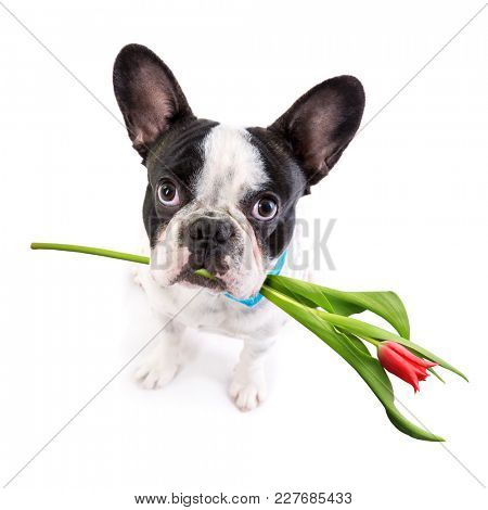 French bulldog with tulip flower in muzzle