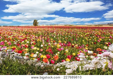Fields of flowering garden buttercups. Spring flowering. Lush cumulus clouds fly over the fields. Concept of rural and ecological tourism