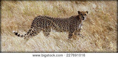 A Cheetah In The Wild Sabana Of Tanzania