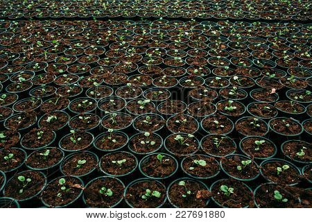 Plantation Flower Sprout In A Pot, Top View . Commercial Cultivation Of Flowers In A Greenhouse