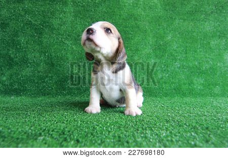 A Cute Tricolor Beagle Is Sitting On Their Back Leg On The Green Grass In Front Of Green Background