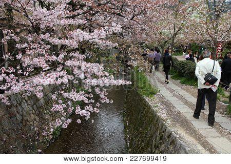 Philosopher's Walk Sakura