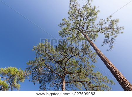 Green Branches Of A Pine With  Blue Sky.