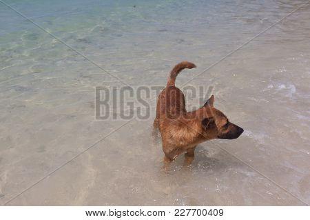 Brown Dog On The Beach At Phuket , Thailand