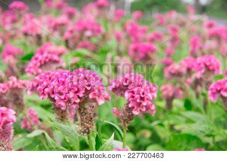 Pink Cockscomb Flower Or Celosia Cristata Flower In The Garden .
