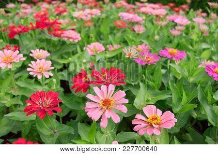 Beautiful Gerbera Flower In Garden At Bangkok