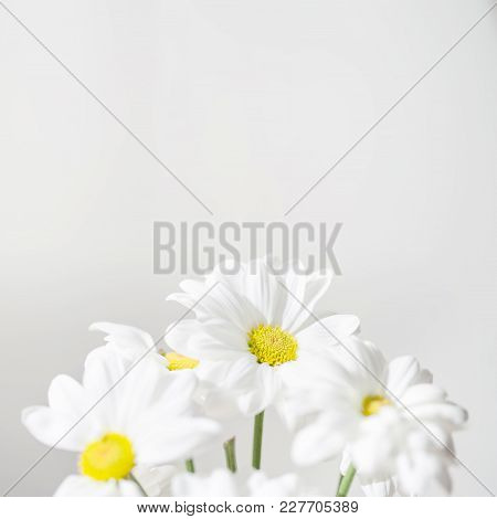 Bunch Of White Daisy Flowers  On Bright  Background Close Up. Spring Daisy Flowers Wall Paper.
