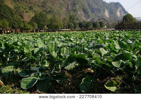 Bed Of Cabbage And Salad On A Field In The Sun