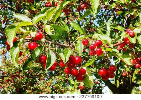 Closeup Of Sunlit Red Crab Apples Hanging On A Crabapple Tree.