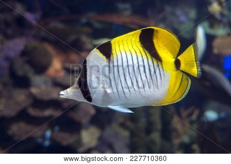 Pacific Double-saddle Butterflyfish Chaetodon Ulietensis - Tropical Fish