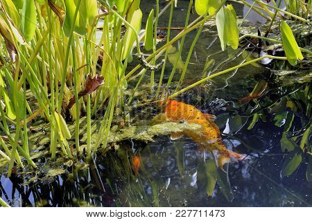 Carp Koi In A Basin Of The Bamboo Plantation Of Anduze In The French Department Of Gard