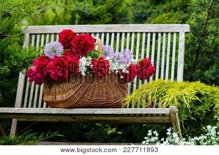 Wicker Basket With Red Peonies On A Wooden Bench In A Spring Garden.