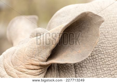 Ear Rhinoceros In Nature . In The Park In Nature
