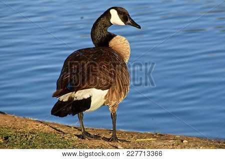 A Canada Goose Stands Alert  And On Guar By A Body Of Bright Blue Water.