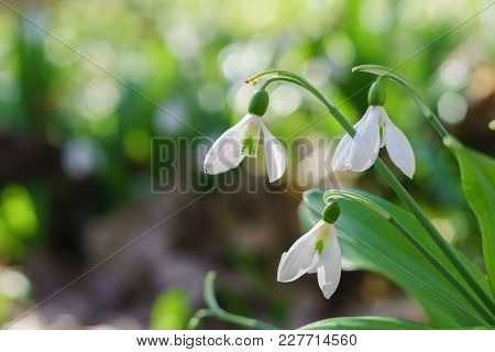 Beautiful Snowdrops On Sunny Spring Forest With Bokeh Background.