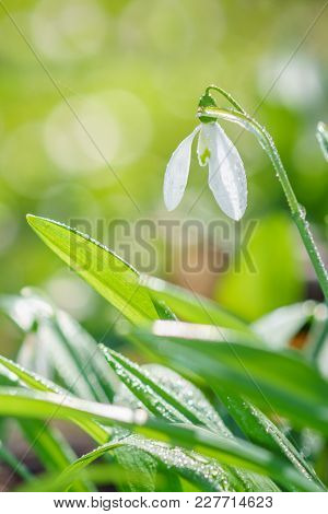 Beautiful Snowdrop With Dew Drops On Sunny Spring Forest With Bokeh Background.
