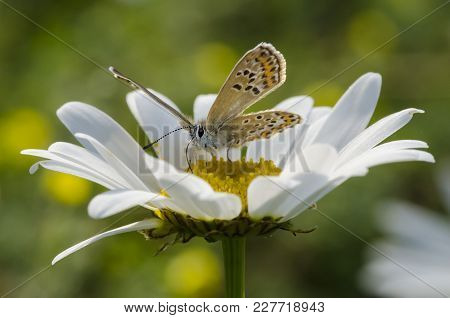 Small Beautiful Butterfly Is Sitting On Camomile Flower With Drops. Close Up.