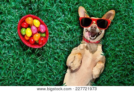 Funny  Happy Podenco Easter Bunny  Dog With A Lot Of Eggs Around On Grass  And Basket , Sleeping And