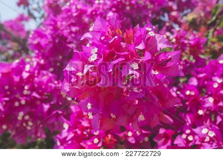 Bougainvillea Pink Blooming Flowers. Evergreen Plant. Cyprus Nature