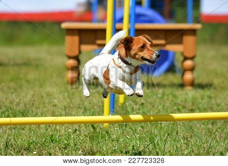 Jack Russell Terrier Is Jumping In The Agility Parcour