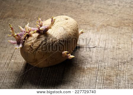Organic Seed Potato With Sprouts On Wooden Background. Sprouting Tuber Of Solanum Tuberosum. Close U