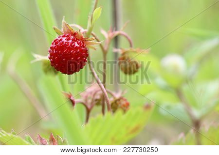 Detail Of The Forest Products - Wild Strawberries