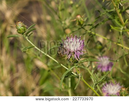 Iberian Knapweed Or Star-thistle, Centaurea Iberica Flower With Bees Macro, Selective Focus, Shallow