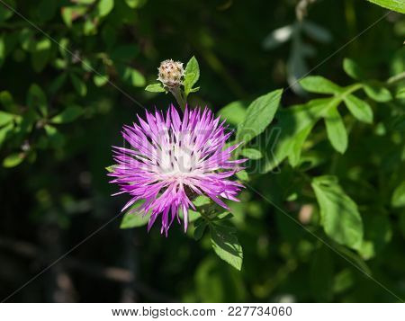 Flower Of Persian Or Whitewash Cornflower, Centaurea Dealbata, Close-up, Selective Focus, Shallow Do