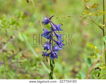 Blossom Of Alpine Delphinium Or Delphinium Elatum Close-up, Selective Focus, Shallow Dof.