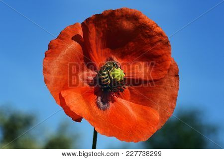 Bee Collects Nectar In A Large Crane Bud Of A Blooming Poppy