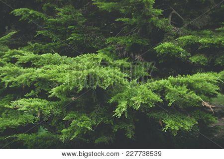 Cedar Green Branches