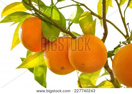 Brightly Sweet Fresh Oranges Growing On A Tree Branch With Green And Yellow Leaves On A White Backgr